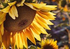 A mature sunflower begins leaning toward the soil